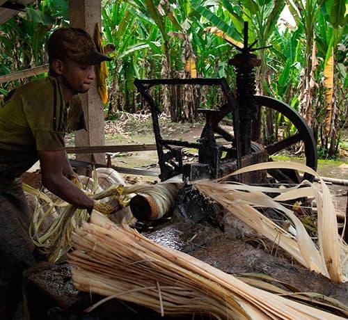 Abacá: esclavitud moderna en los campos de Ecuador - Premio Gabo 2019
